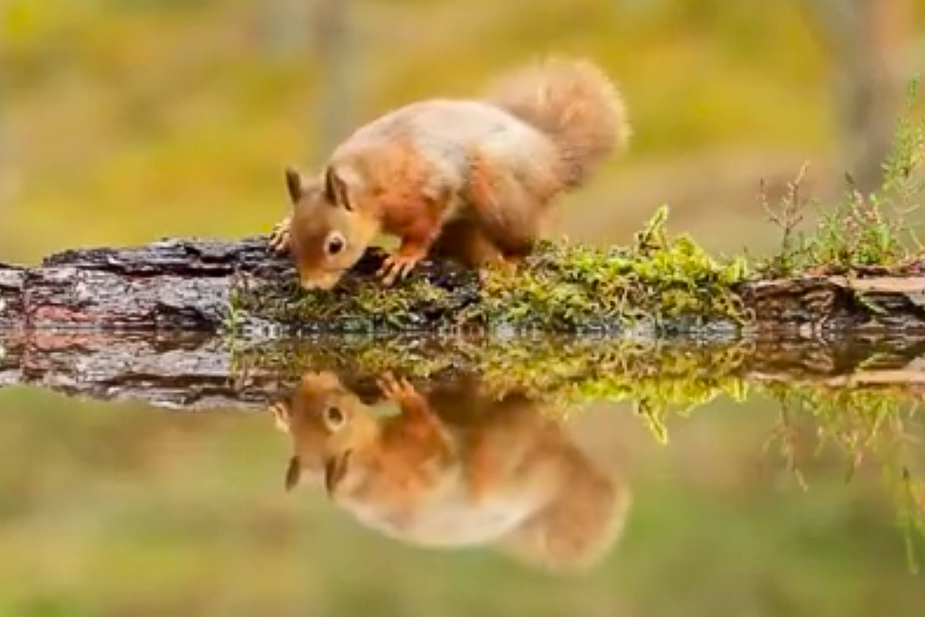 A still image from the Wild Scotland video, showing a red squirrel on a branch over a river, looking at its reflection in the water and having a drink.